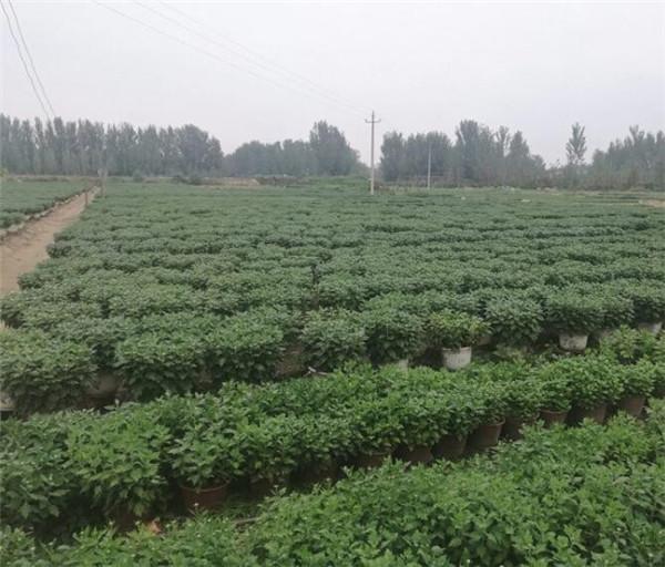 河南菊花造型种植基地