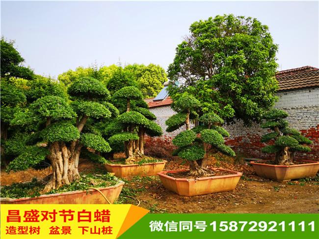 对节白蜡盆景树