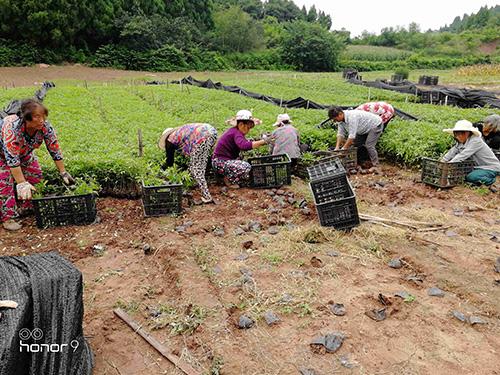 四川藤椒苗种植