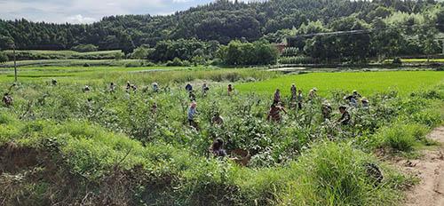 四川藤椒苗種植