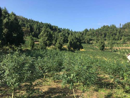 四川藤椒树