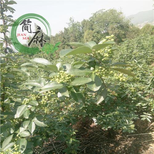 四川藤椒樹蟲害