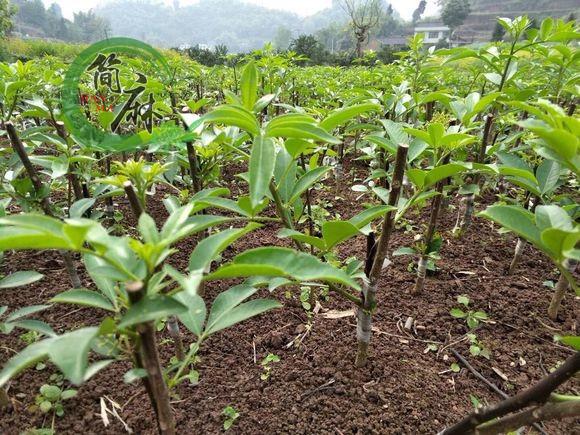 四川藤椒嫁接枝條養護方式