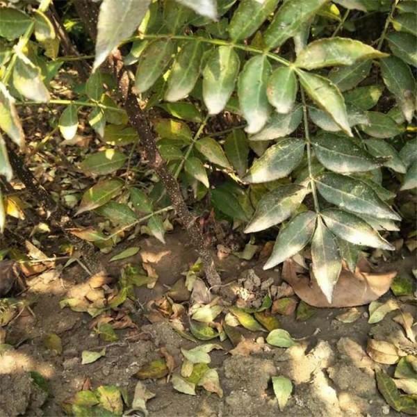 淺談四川藤椒苗的3大蟲害類型及預防方法