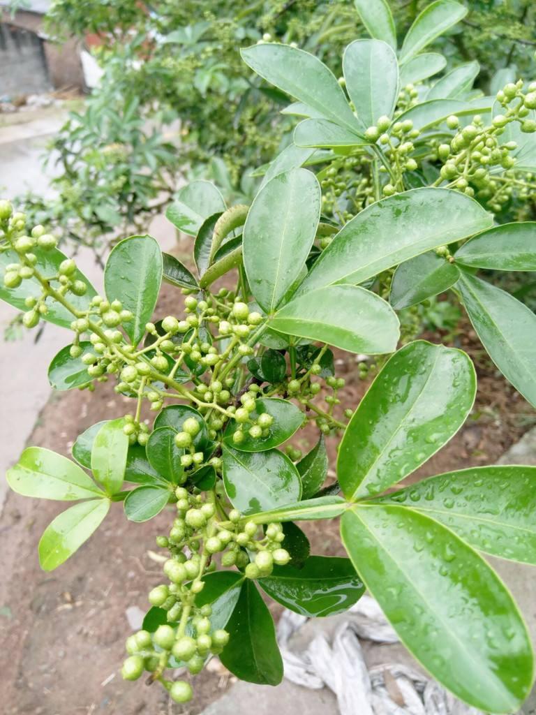 四川藤椒樹