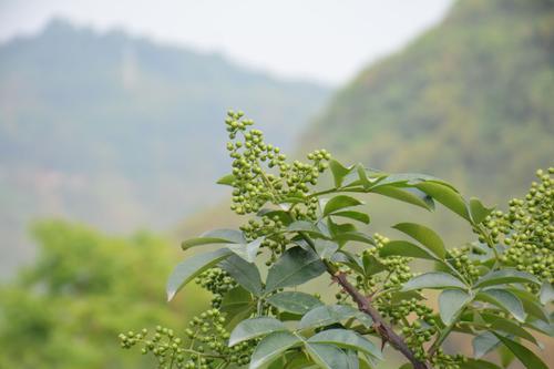 四川藤椒树的种植六大注意事项!!