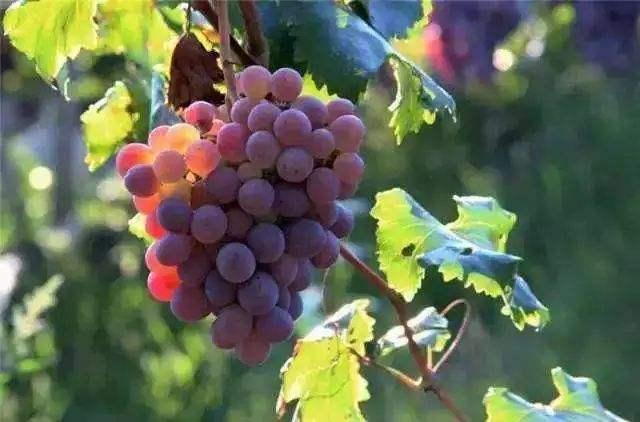 葡萄种植施肥