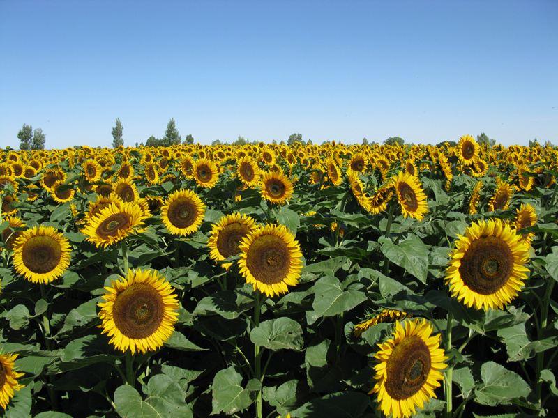 向日葵种植施肥