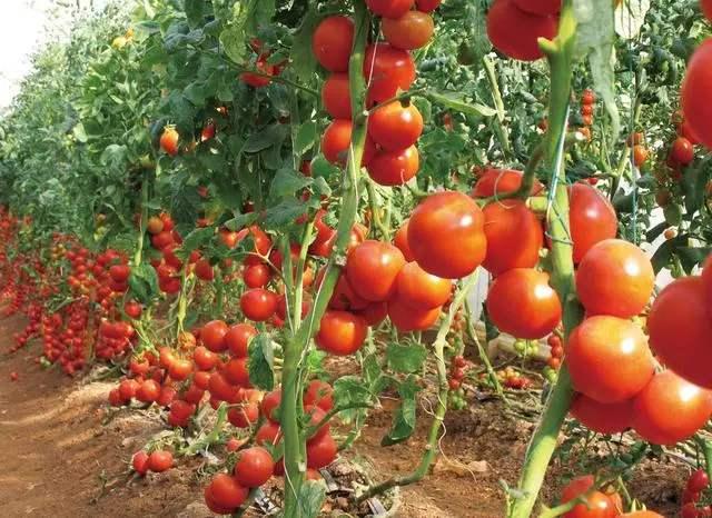 西红柿种植