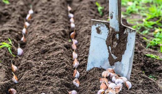大蒜作为一种家家必不可少的调料之一,在冬季生长过程中该如何施肥