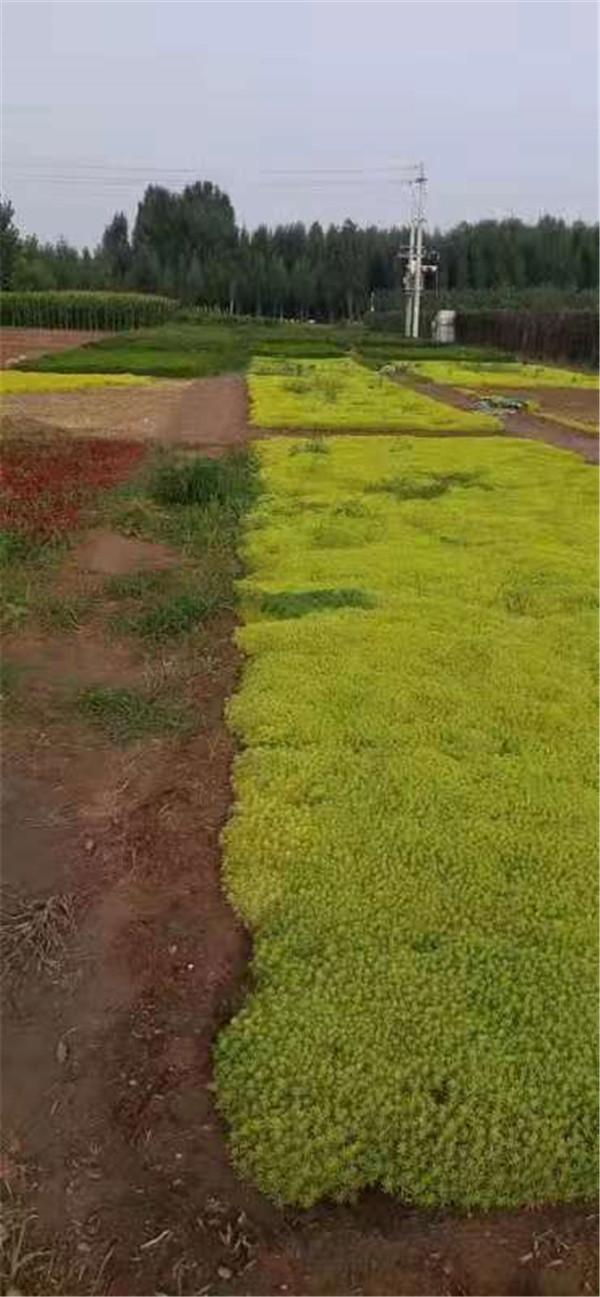 河南五色草造型价格