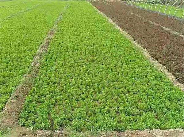 五色草造型中的草的长势受什么情况影响