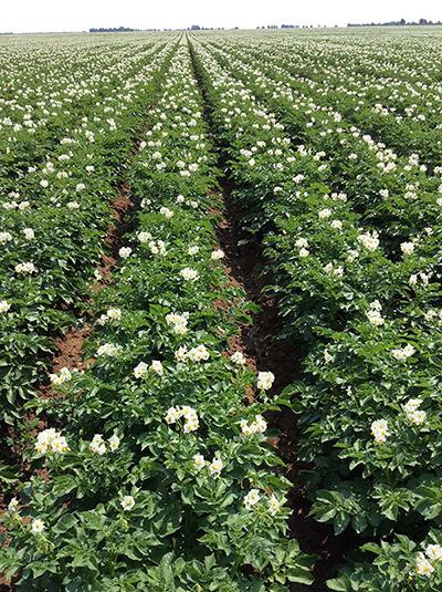 马铃薯养殖基地