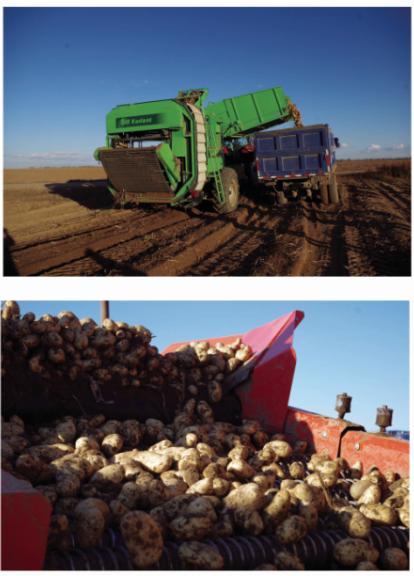 马铃薯种植基地