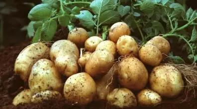 20世纪人们开始实行大健康,其中食用马铃薯对身体的消化系统有所帮助。