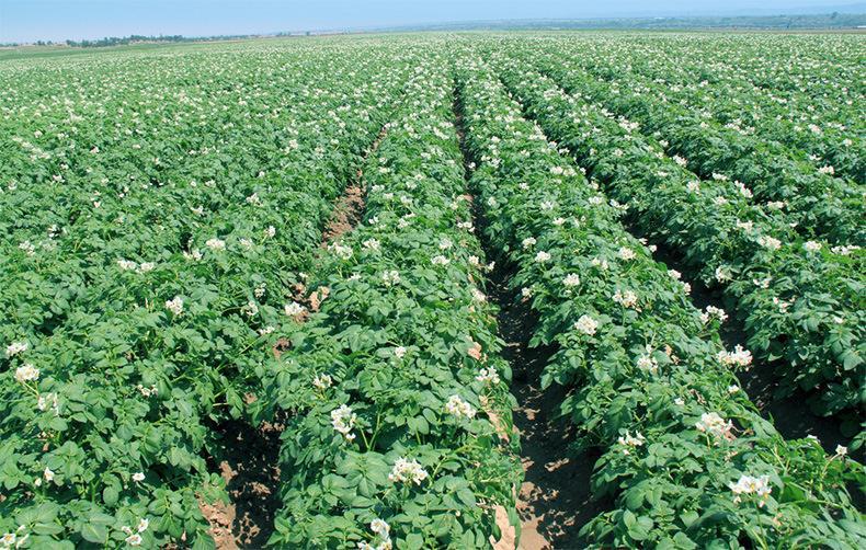 马铃薯膜下滴灌栽培技术