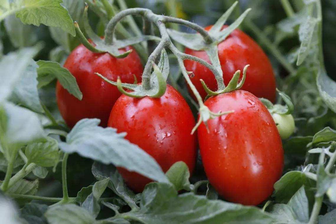 番茄膜下滴灌栽培技术