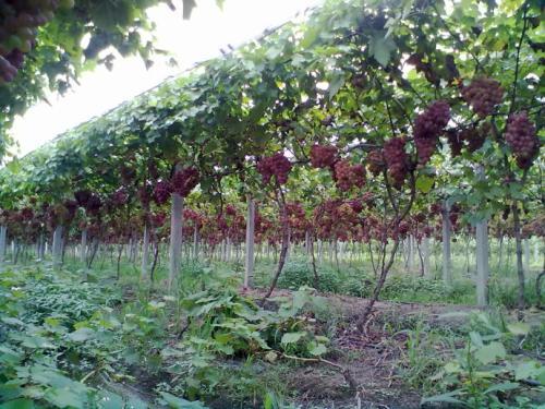 葡萄园节水灌溉的主要方式