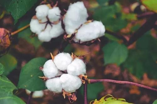 棉花想高产这种节水灌溉的方式才好!