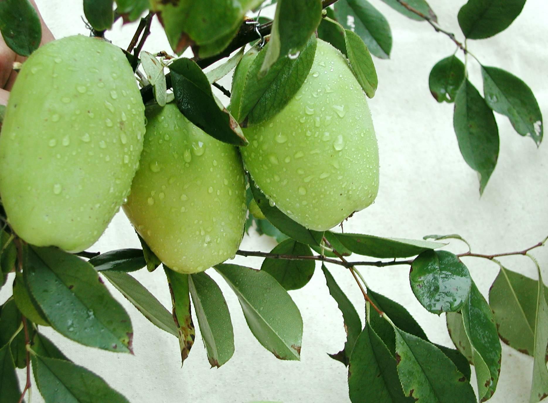木瓜如何节水灌溉?