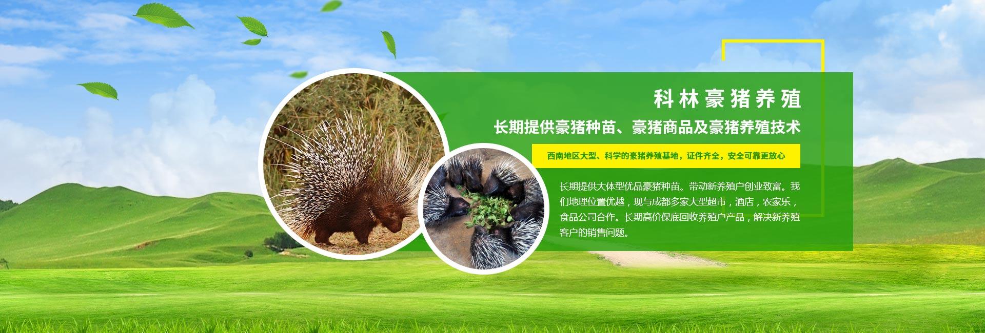 四川豪猪种苗
