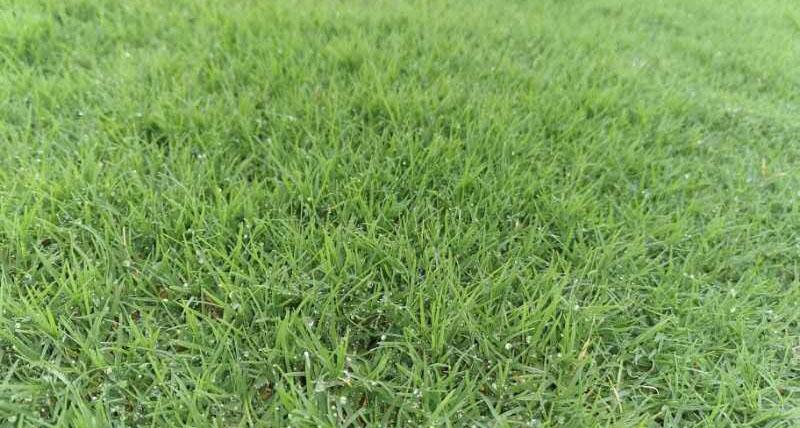 成都草坪基地-果岭草