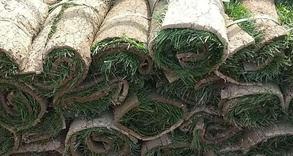 成都绿化草坪-混播草
