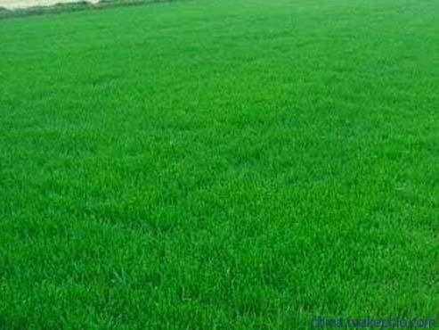 成都绿化草坪