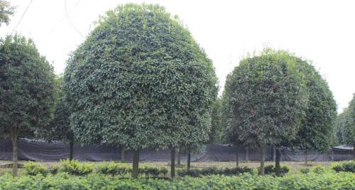 成都苗木-桂花树