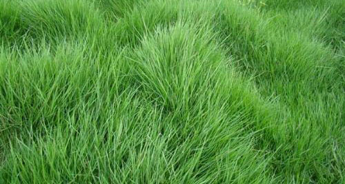 成都台湾草