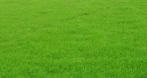 成都草坪-台湾草