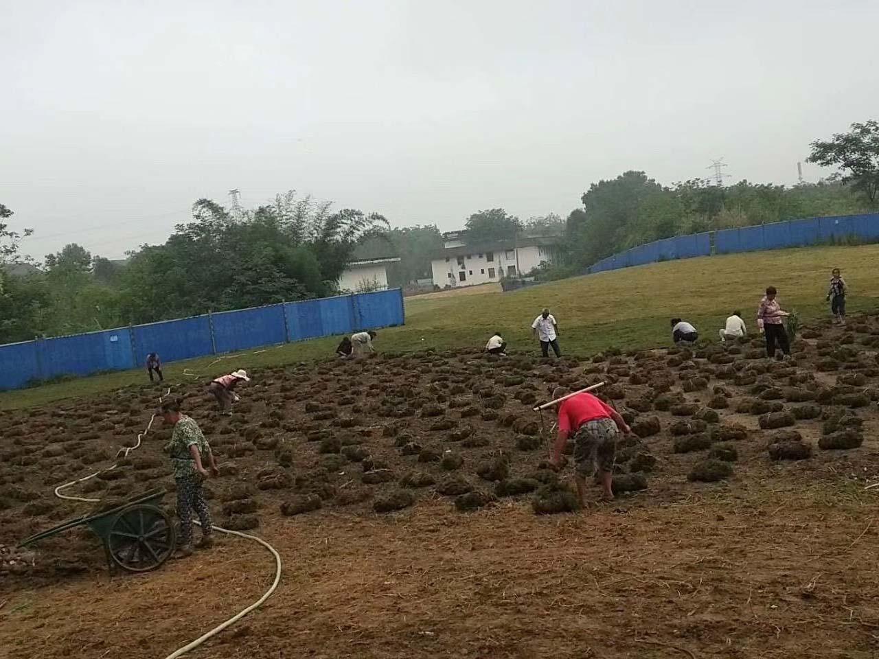 果岭草种植基地