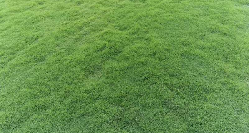 成都草坪厂家解答为什么百慕大草坪如此受欢迎