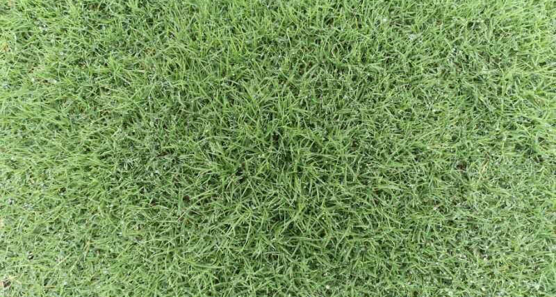 成都草坪基地厂家教你正确养护百慕大草坪的方法