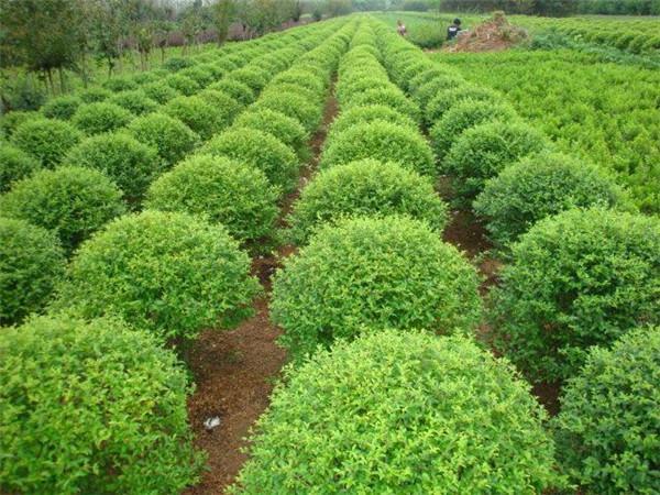 成都苗木分枝点要培养多高合适?