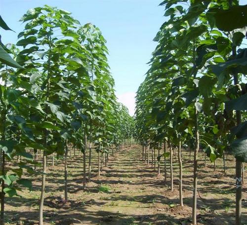 在种植楸树的时候有没有促进生根的方法呢