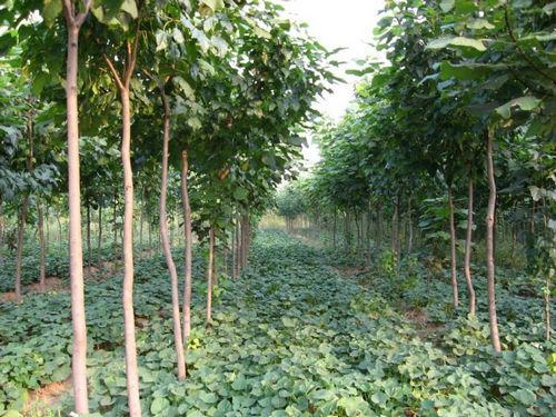 一般楸树苗可以种植在哪些场所之中呢