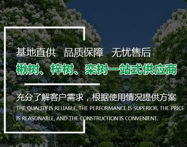 如何栽培养护楸树呢?河南楸树种植基地给大家做详细介绍!