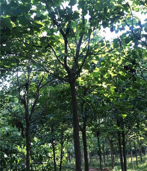 河南梓树公司给大家科普下梓树:根茎可杀虫