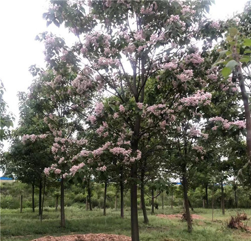 河南金丝楸树
