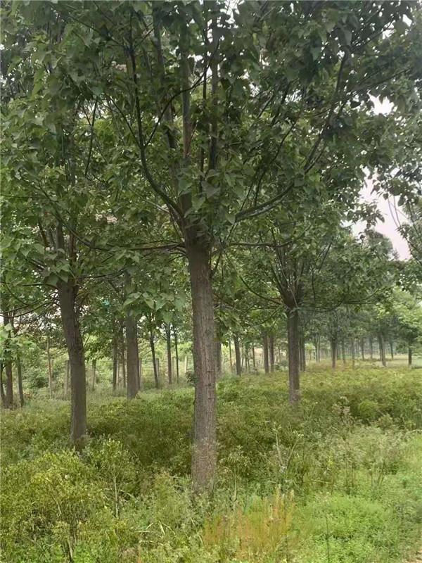 16公分楸树已经出土固定