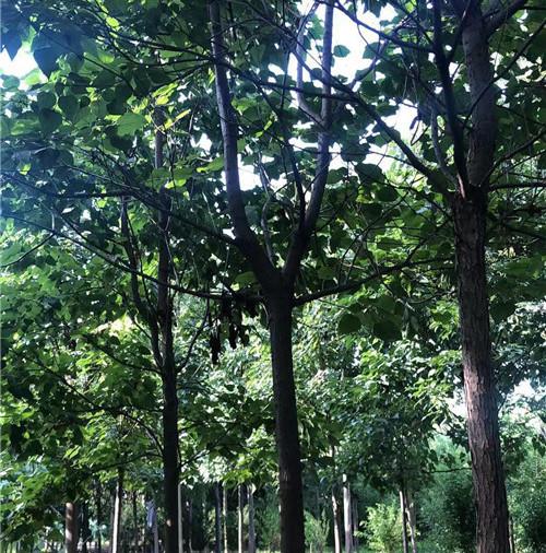 我們要做好欒樹的種植和養護