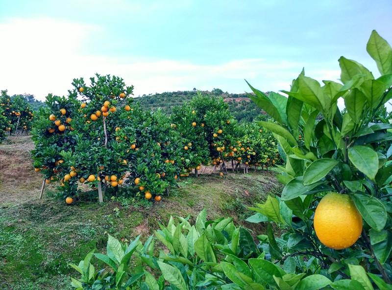 荣升农业专业管理的脐橙采摘园