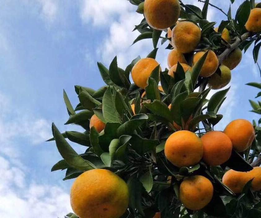 对于没有种植经验的农户来说,宜昌秭归蜜桔的种植需要注意哪些生长环境