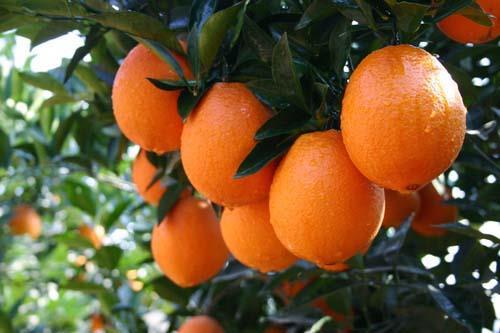 大家想要种植秭归脐橙的,它有哪些种植前景呢?