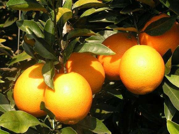 """你听过""""秭归脐橙""""吗?它有哪些特点?这里有答案"""