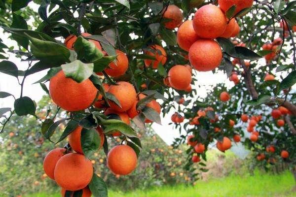 为什么选择宜昌秭归脐橙?原因很简单,宜昌荣升农业告诉你,主要有这四点原因