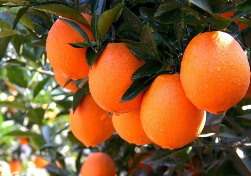 想找到好吃的橙子,当选秭归脐橙,让你好吃的停不了口!