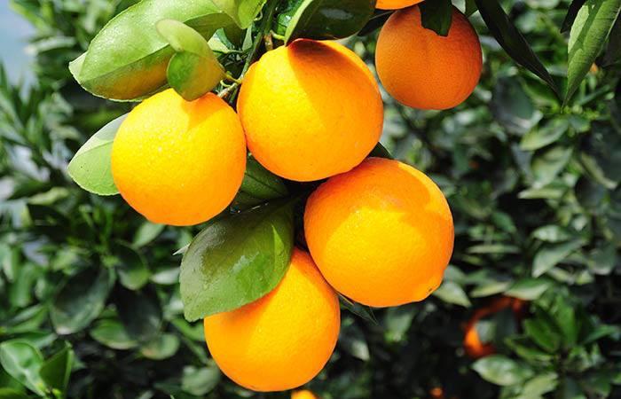 秭归脐橙销售批发厂