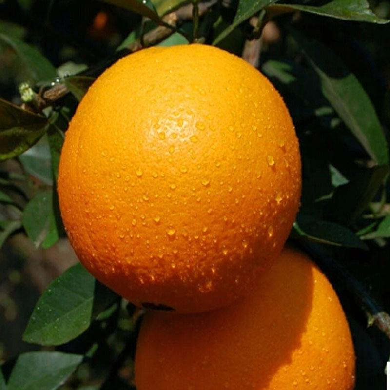 大家知道脐橙怎么种才好吃吗?看看宜昌秭归脐橙是怎么做的